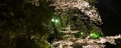 ライトアップされた桜を池の橋の欄干から眺める