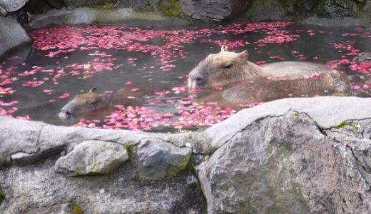 伊豆シャボテン公園のカピバラさん「満足するまで露天風呂でぬくぬくしますね?!」