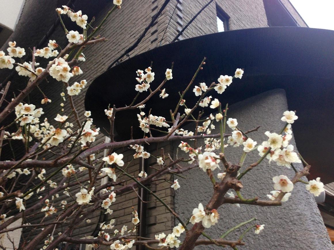 キャットストリートの桜