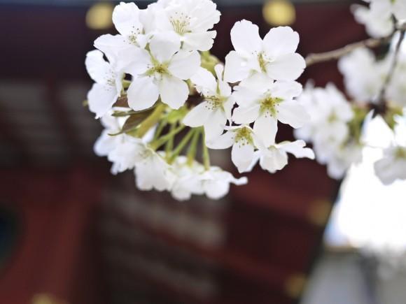 金王神社の桜