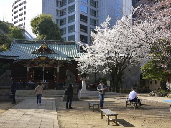 満開の金王桜