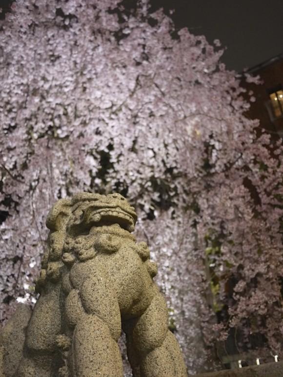 乃木神社鳥居脇のしだれ桜