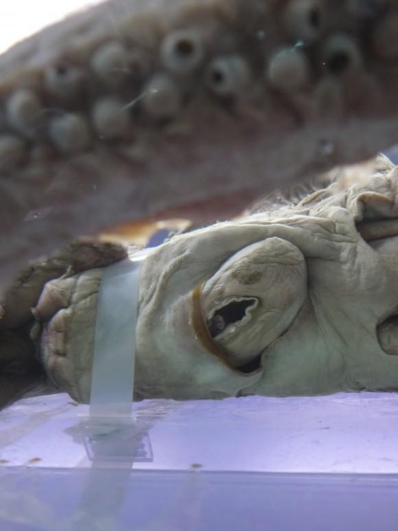 ダイオウイカの目