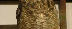アフリカワシミミズク
