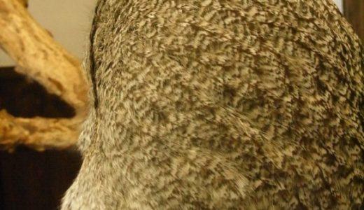 カラフトフクロウの羽毛がふわふわすぎて手を突っ込みたい