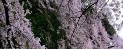九段下坂からの桜