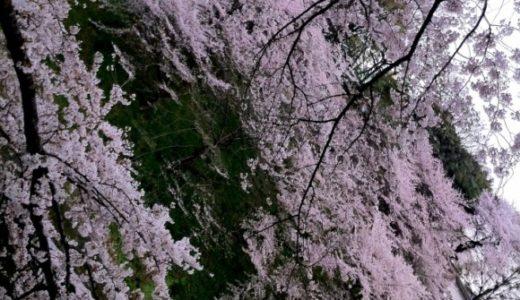 千鳥ヶ淵の桜が満開に