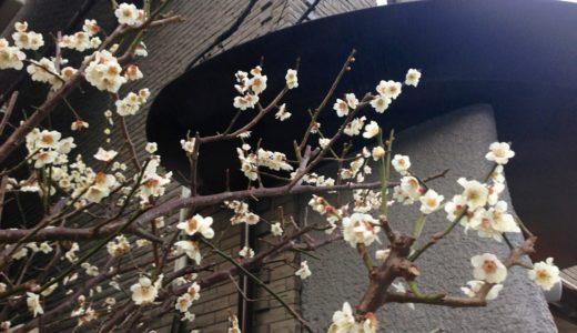 キャットストリートの梅が咲き始める