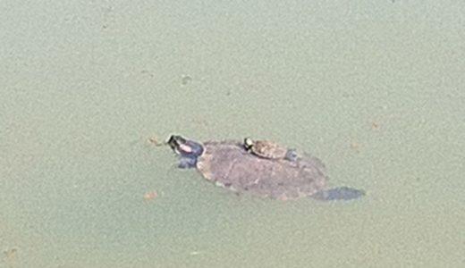 今代々木公園の池では親亀子亀のひなたぼっこが見られる