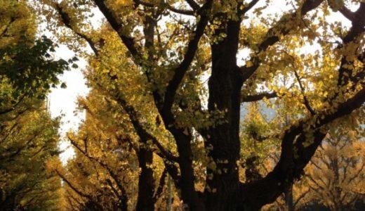 神宮外苑前のイチョウ並木が黄金色の見頃に