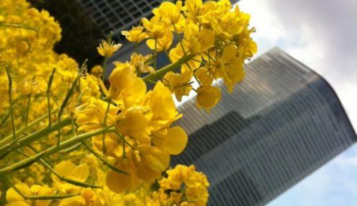 浜離宮の菜の花が見頃