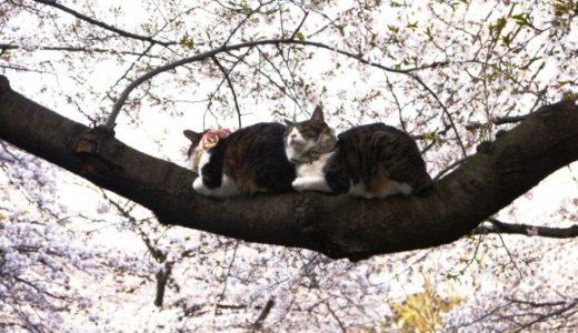 数日前RTされていた桜で猫が鈴なりの微笑ましい写真…実は飼い主が放り投げて乗せていた!