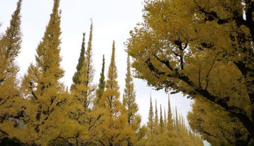神宮外苑前のイチョウ並木が黄金色に。見頃は今週末まで(2012)