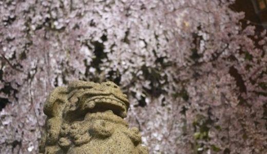 乃木神社のしだれ桜が見事なので見に行くと良いですよ