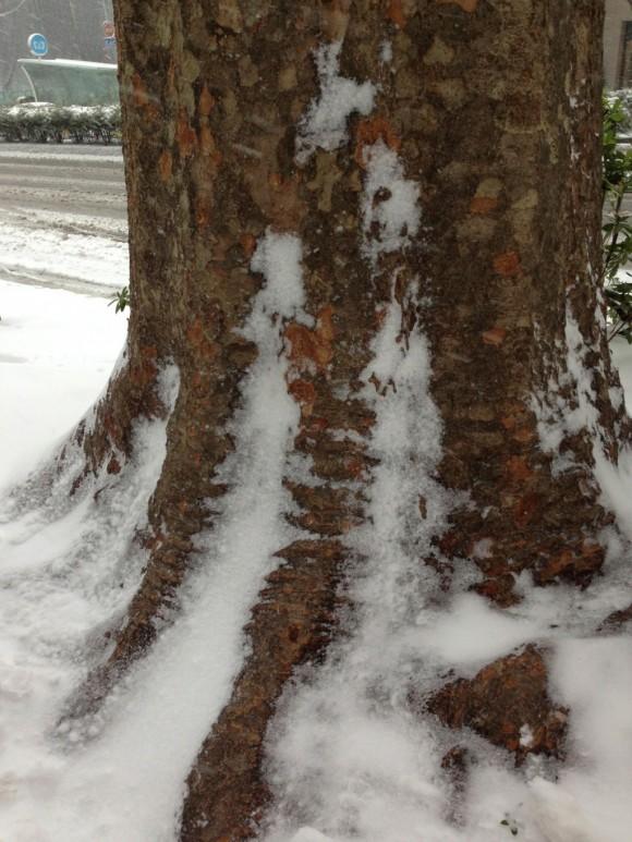 ケヤキに吹き溜まる雪